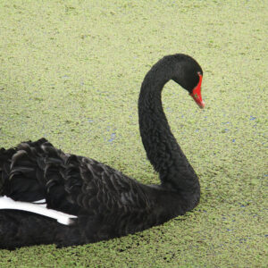 A photo of a black swan.