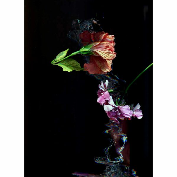 an orange and pink flower are falling in front of a black background