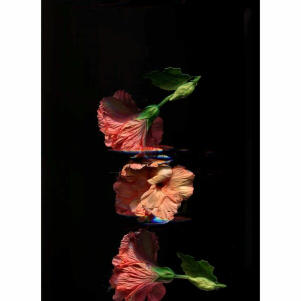 three orange flowers are fulling in front of a black background