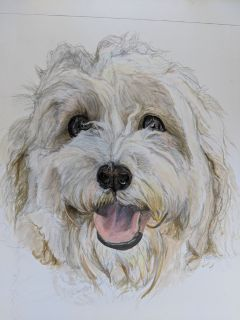 a pencil drawing od a white and tan coloured dog with scuffy fur.